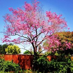 Tabebuia impetiginosa 'Pink Cloud' right across the driveway from the Folly The Ruth Bancroft Garden/Walnut Creek, CA