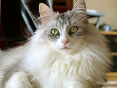 Flooooooooooof. | 14 Reasons Maine Coons Are The Cutest Cats In The Whole World