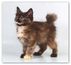 #Long-hair Manx #cute #kitten ... so fuzzy & alert ... so much to explore ...