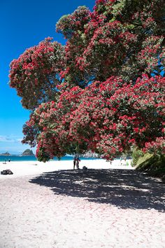 Hahei, North Island, New Zealand - A summer scene, Pohutukawa trees in flower, with their red blooms are amazing!