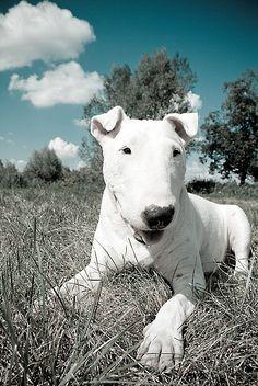 #bull terrier #Dogs #Puppy #Bullterrier #cani