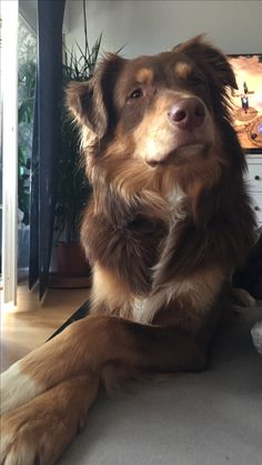 He looks so dignified and thoughtful! Really Cute Puppies, Cute Baby Dogs, Cute Dogs And Puppies, I Love Dogs, Pet Dogs, Dog Cat, Doggies, Aussie Dogs, Australian Shepherd Dogs