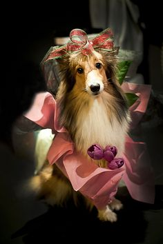 Looks like my two beautiful shelties from long ago... <3Shannon and Casey <3