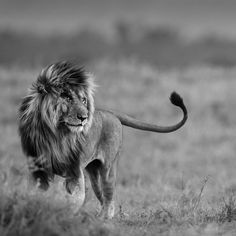 A male lion possessing incredible presence, beauty and power...