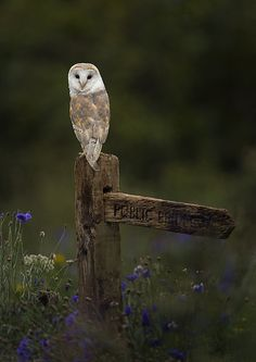 Love owls! Had a dream about a barn owl the other night....
