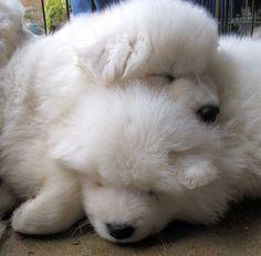 Samoyed puppies... so fluffy!
