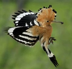 when i have seen a hoopoe my life will be complete!
