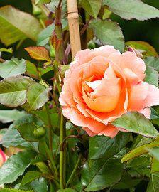Großblumige Rose 'Black Magic'® 'Black Magic'®