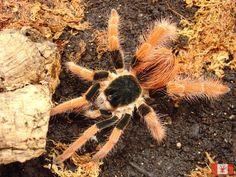 Megaphobema rubustum - Colombian Giant Tarantula