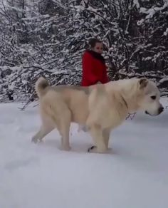 Taking the bear wolf out for a walk.-Taking the bear wolf out for a walk. Funny Animal Videos, Cute Funny Animals, Cute Baby Animals, Funny Cute, Animals And Pets, Cute Puppies, Cute Dogs, Dogs And Puppies, Doggies