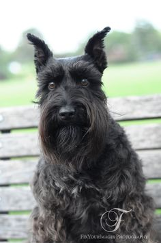 A beautiful black mini schnauzer with the most gorgeous eyes