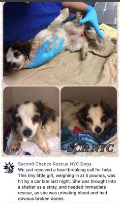 11/23/16 DAISY - HIT BY CAR - NEEDS SURGERY!! PLEASE CONSIDER DONATING! THANK YOU❤️ /ij https://m.facebook.com/SecondChanceRescueNycDogs/photos/a.268618996580496.54842.268612969914432/1076708909104830/?type=3&source=48&__tn__=E