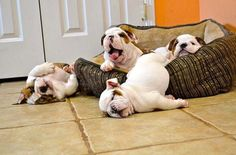 sleepy bulldog puppies