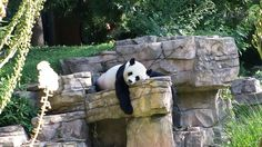 Smithsonian National Zoological Park (National Zoo) in Washington, D. LOVE this zoo! Wear your walking shoes.lots of hills! National Zoo Panda, Dc Zoo, Washington Dc Map, Great Memories, Panda Bear, Wonderful Places, Four Square, Places To Visit, Travelogue