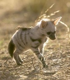 Aardwolf puppy, related to the hyena. Oh my goodness! Is this a real thing?!