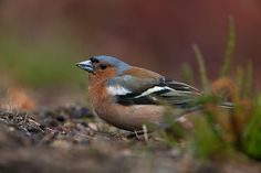 Zięba Bird Watching, Pictures, Animals, Chaffinch, Photos, Animales, Animaux, Animais, Animal