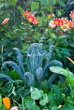 Edible landscaping vegetable, herb and flower garden with orange bell pepper, dinosaur Tuscan kale 'Lacinato', dahlias, nasturtiums variegated Tropaeoleum edible flower, chard, etc mixture variety