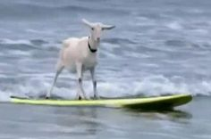 Goat surfing at Grover Beach, CA