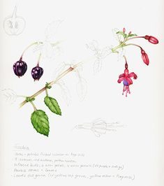 Lizzie Harper natural history botanical terms epigynous flower inferior ovary latin botany