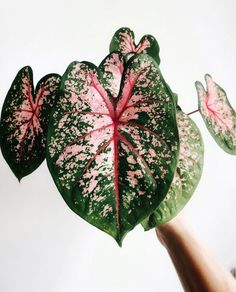 My Caladium is entering dormancy already. I will be happy to see it return next year. Enjoy the Sunday evening (or night) . Easy House Plants, House Plants Decor, Plant Decor, Exotic Plants, Green Plants, Cactus Plants, Decoration Plante, Pink Plant, Plants Are Friends