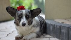Cardigan Welsh Corgi Puppies, Corgi Dog, Mini Corgi, Funny Animals, Cute Animals, Little Dogs, Dog Life, I Love Dogs, Omega