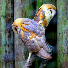 Barn Owls.. Gorgeous!