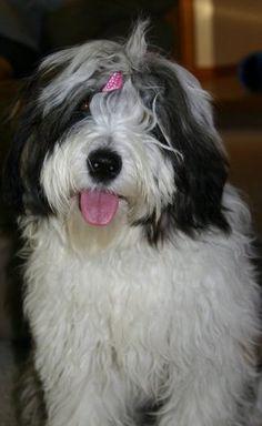 Chloe...Tibetan Terrier looks just like my Joshua, one of greatest dogs in world.