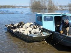 Resident of the flood in Galena, Alaska saves the town's dogs North To Alaska, Save A Dog, Little Sisters, Dog Life, Shelter, Yukon River, Anchorage Alaska, Boat, Favorite Things
