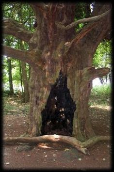 The Yew is sacred to Hecate, the Crone aspect of the Triple Goddess; both are guardians of the underworld, death and the afterlife.