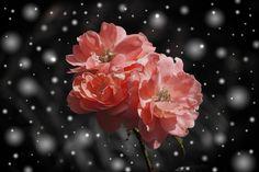 💡 New free photo at Avopix.com - Snow flowers winter plant    🏁 https://avopix.com/photo/35618-snow-flowers-winter-plant    #pink #flower #rose #petal #blossom #avopix #free #photos #public #domain