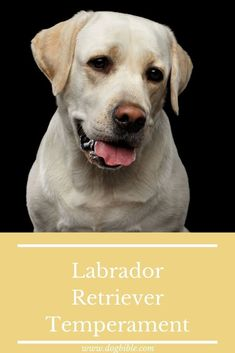 With a height of 57 centimetres for males and 56 centimetres for bitches measured at the withers, the Labrador Retriever is among the medium-sized dog breeds. They reach a weight of 25 to 26 kilograms. Their body is muscular and compact, their head relatively broad. The high set tail, which tapers towards its tip, is also characteristic for them. Labrador Breed, Labrador Retriever, Medium Sized Dogs Breeds, Guide Dog, Bloodhound, Therapy Dogs, Family Dogs, Working Dogs, Newfoundland