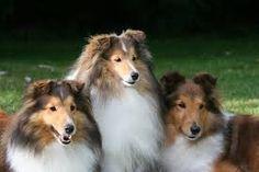 Bildresultat för shetland sheepdog