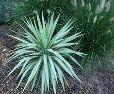 Como cultivar Yucca. As plantas como a Yucca são de grande funcionalidade numa casa ou jardim, estejam elas em vasos, quintais ou varandas, para dar beleza e harmonia ao ambiente ou para melhorar a qualidade do ar. Para q...