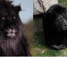 The very last black lion living on earth picture is a hoax. Lovely, but a hoax just the same. :(