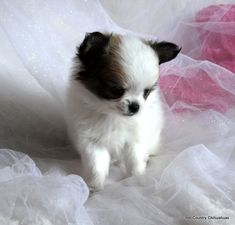 Available Puppies – Hill Country Chihuahuas Teacup Chihuahua For Sale, Baby Chihuahua, Chihuahua Breeders, Chihuahuas, Dog Signs, Cute Baby Animals, Dog Breeds, Cute Babies, Dog Cat