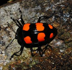 Aposematic fungus beetle by Arthur Anker, via Flickr