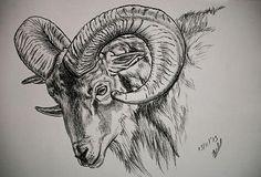 Mountain Goat Ram