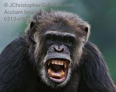 angry_monkey.jpg (300×240)