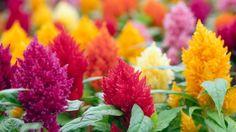 Vyberte si z farebného ohňostroja plamenníkov metlinatých.