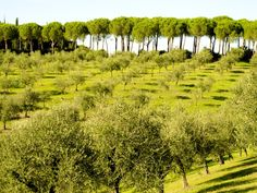 OleaEuropaea or Olive Trees are the oldest cultivated tree dating back to ancient Greece. Though it grows in a warm and sunny climate, it is suitable to grow in a variety of climates. See more at: http://www.craftlearnteach.com/grow-olive-trees-quick-guide/