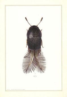 Ptiliidae lithograph