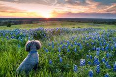 "Sunset, Texas Bluebonnets, and Hound Dog (aka ""Big Boy"")"