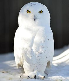 A snowy owl is pictured at the Bronx Zoo in New York after an intense snow storm on Feb. 9 in the Bronx borough of NYC. Animals And Pets, Baby Animals, Cute Animals, Beautiful Owl, Animals Beautiful, Owl Bird, Pet Birds, Owl Photos, Exotic Birds
