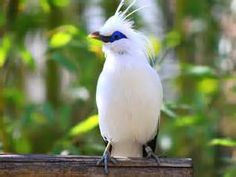 Bali Starling also known as the Bali Myna, Rothschild's Myna, and locally as Jalak Bali. These white birds with blue bare skin around the eyes, have black tipped wings and tail. They are critically endangered and found only on the island of Bali in Indonesia.