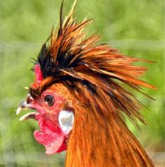 15 funky chickens  These fun reader photos show that when it comes to chickens, big personality comes in small packages!
