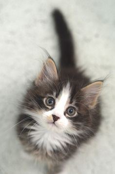If you're looking for Free Maine Coon Kittens for adoption we've written some tips on how to find Free Maine Coon Cats and where to look for them. Kittens And Puppies, Cute Cats And Kittens, I Love Cats, Crazy Cats, Kittens Cutest, Cute Fluffy Kittens, Kittens Meowing, Corgi Puppies, Pretty Cats