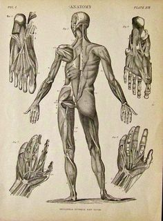 C.1842 Anatomy lithograph in Plate XVI showing the muscle groups in the human body, hands and feet. Featured in Encyclopaedia Britannica, Ninth Edition.