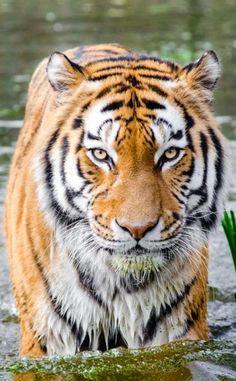 Bengal Tiger Half Soaked Body