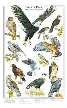 Birds of Prey Identification Chart ~ETS Love Birds, Beautiful Birds, Bird Identification, Bird Poster, Poster Poster, Backyard Birds, Birds Of Prey, Fauna, Wild Birds