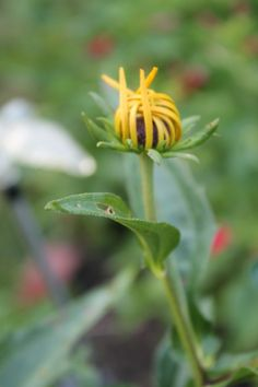 Black-eyed Susan before it opens Tammy Taylor-Kosiba's Photography 2012